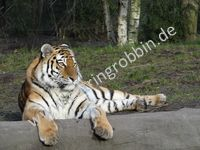 Liegender Tiger